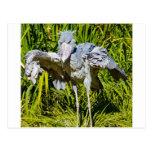 Shoebill Stork Postcard