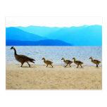 Shore Patrol Canada Geese Postcard