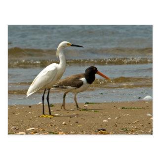 Shorebird Postcard