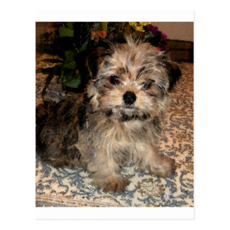 Shorkie Puppy Post Card