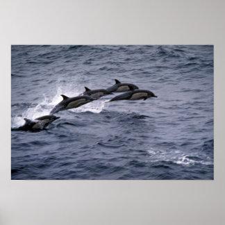 Short-beaked common dolphin poster
