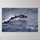 Short-beaked common dolphin print