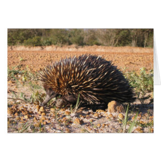 Short-beaked Echidna - Tachyglossus aculeatus Card