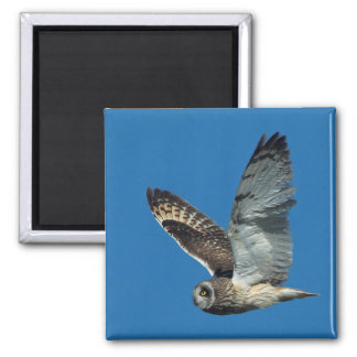 Short-eared Owl ( Asio flammeus) in flight 2 Inch Square Magnet