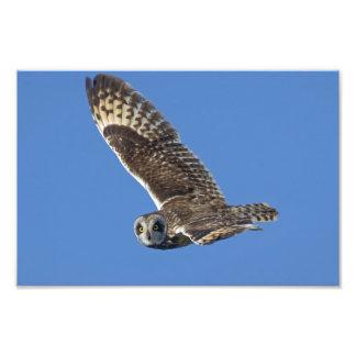 Short-eared Owl in Flight 8 x 12 Photo Print