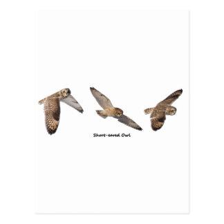 Short-eared Owl in Flight Postcard