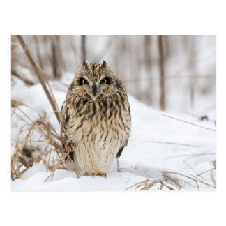 Short Eared Owl Postcard