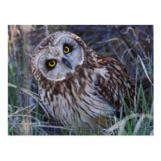 Short-eared Owl Postcard