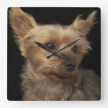 Short haired Yorkie dog looking to the right Wallclocks