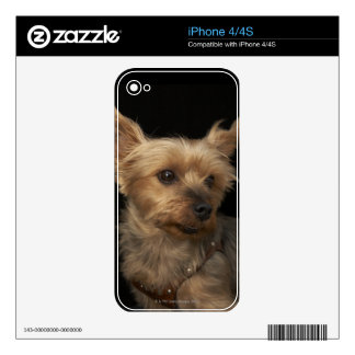 Short haired Yorkie dog looking to the right iPhone 4 Decal