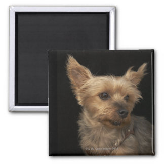 Short haired Yorkie dog looking to the right Magnet