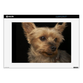 "Short haired Yorkie dog looking to the right Skins For 15"" Laptops"