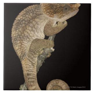 Short-horned chameleon(Calumma brevicornis) Tiles