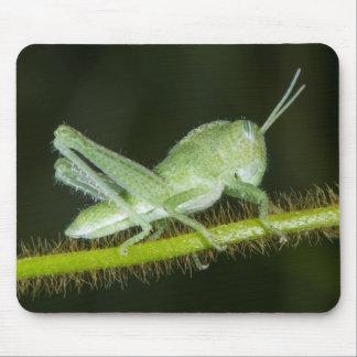 Short-horned grasshopper nymph, Odzala Mouse Pad