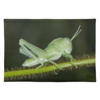 Short-horned grasshopper nymph, Odzala Placemat