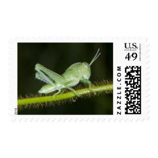 Short-horned grasshopper nymph, Odzala Postage