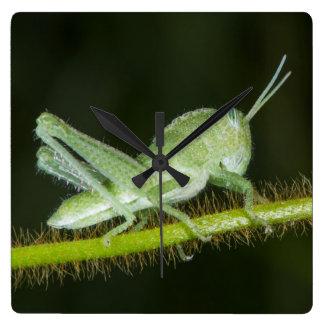 Short-horned grasshopper nymph, Odzala Square Wall Clock