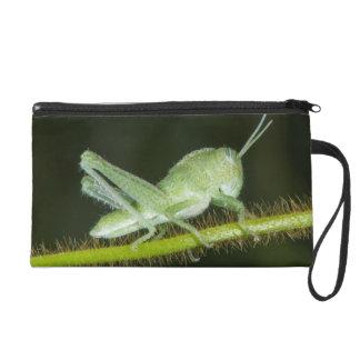 Short-horned grasshopper nymph, Odzala Wristlet