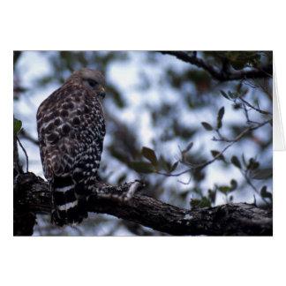 Short-tail Hawk Greeting Cards