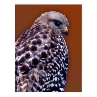 Short-tail Hawk Postcards