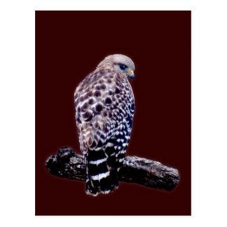 Short-tail Hawk Post Cards
