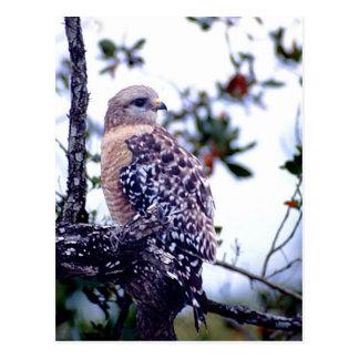 Short-tail Hawk Post Card