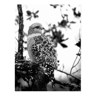 Short-tail Hawk Postcard