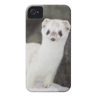 Short-tailed weasel hunting for voles iPhone 4 case