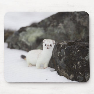 Short-tailed weasel hunting for voles mouse pad
