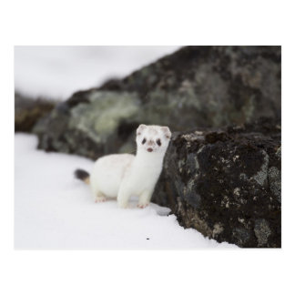 Short-tailed weasel hunting for voles postcard