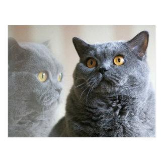 Shorthair británico azul con los ojos del oro postal