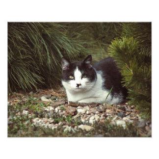 Shorthair Cat - Photo
