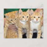 Shorthair Orange Tabby Kittens Postcards