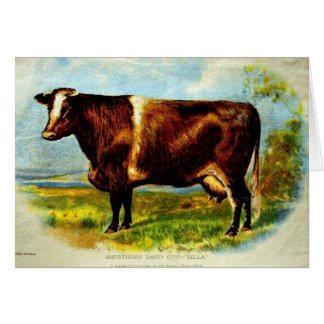 Shorthorn Dairy Cow Lithography 1904 Card