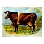 Shorthorn Dairy Cow Lithography 1904 Postcard