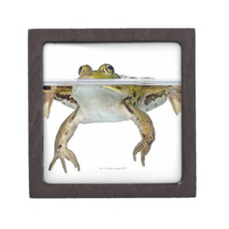 Shot of a Edible frog surfacing in front of a Gift Box