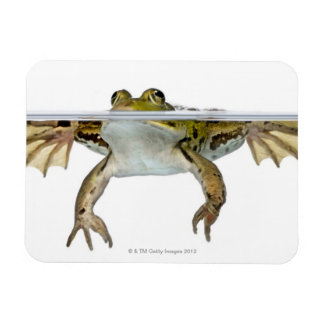 Shot of a Edible frog surfacing in front of a Magnet
