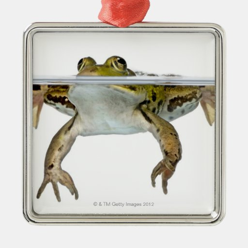 Shot of a Edible frog surfacing in front of a Square Metal Christmas Ornament