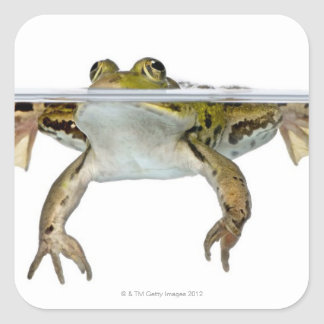 Shot of a Edible frog surfacing in front of a Square Sticker
