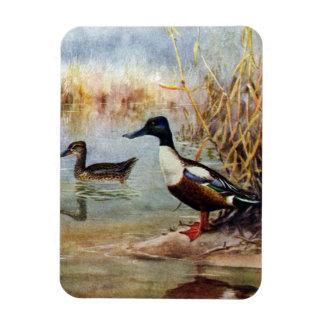 Shoveler Ducks Vintage Illustration Magnet