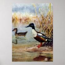 Shoveler Ducks Vintage Illustration Poster