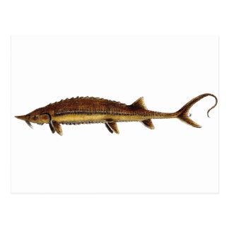 Shovelnose Sturgeon - Scaphirhynchus platorynchus Postcard