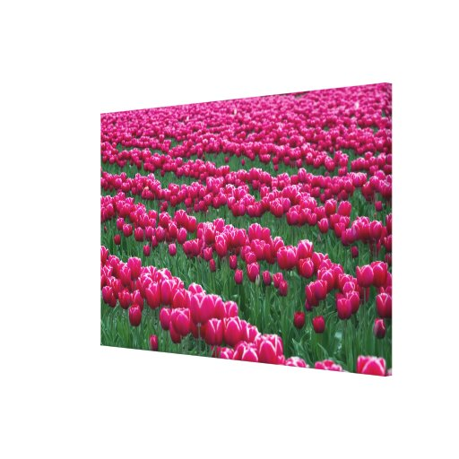 Show garden of spring-flowering tulip bulbs in canvas print