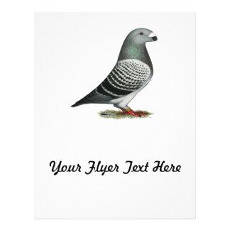 Show Racer Blue Checker Pigeon Flyer