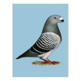 Show Racer Blue Checker Pigeon Postcard