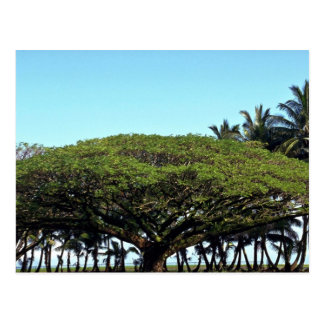 Shower tree by beach, Hilo, Hawaii Postcards