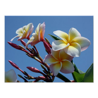 Showy Plumeria Frangipani Blooms Poster