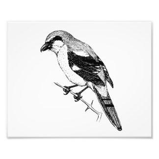 Shrike Bird Bold Line Art Photo