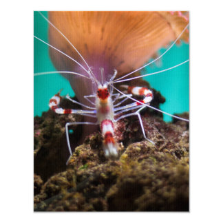 Shrimp Climbing An Anemone Card