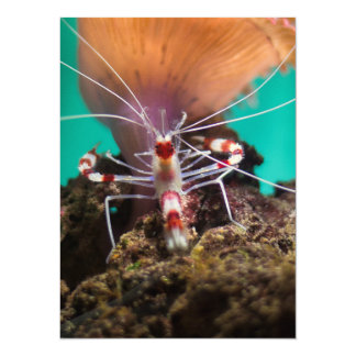 Shrimp Climbing An Anemone 5.5x7.5 Paper Invitation Card